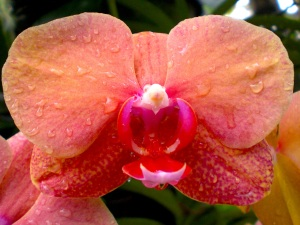 Orange Orchidee