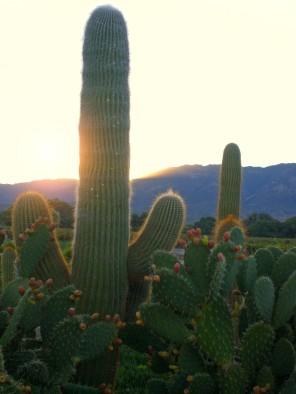 Cactus, Salta province, Argentina